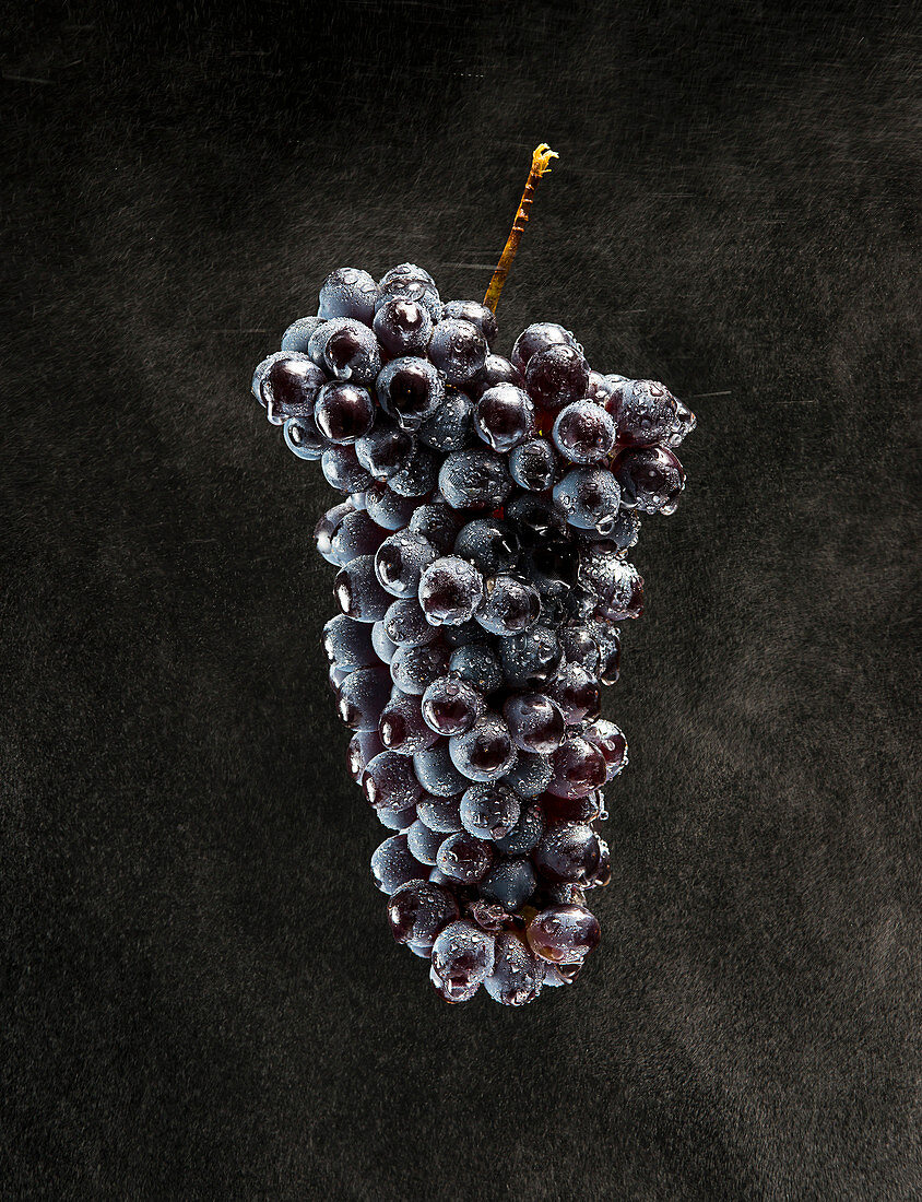 High Angle View of Bunch of Barbera Grapes with Moisture on Black Background