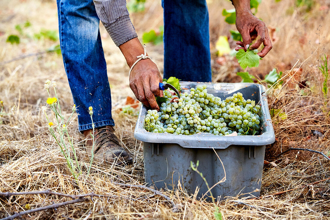 Sauvignon Blanc grapes being harvested