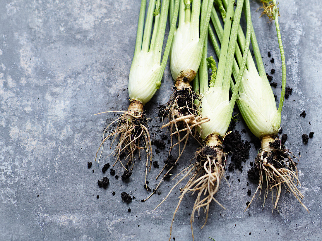 Four fennel tubers with roots and soil