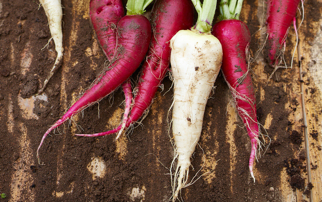 Radishes with soil on a wooden surface