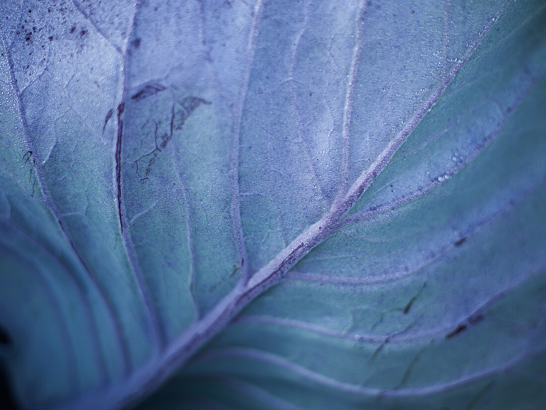 A red cabbage leaf (close detail)