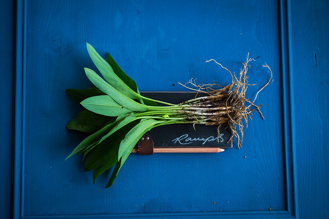 Fresh wild garlic leaves with roots on a slate surface