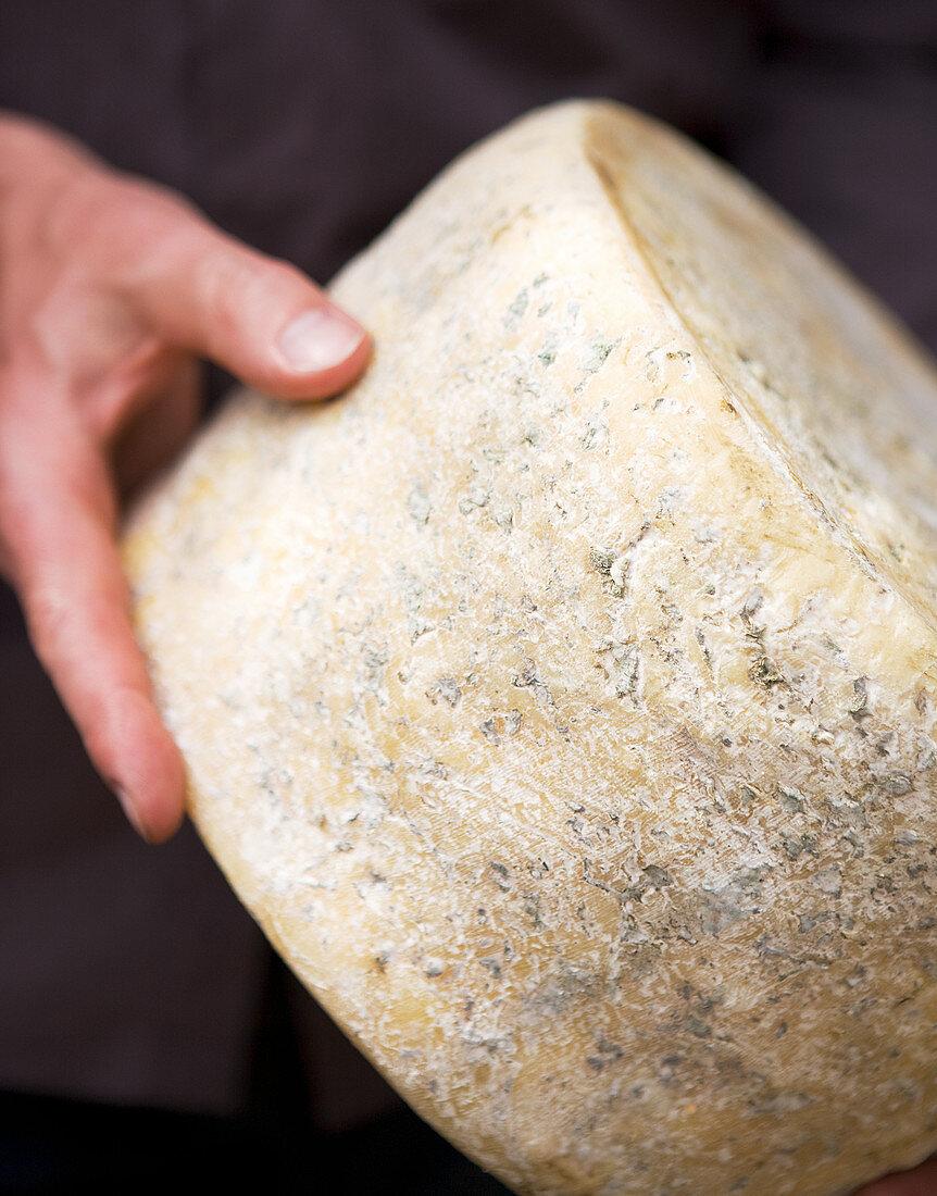 A man holding a wheel of blue cheese (Milawa, Victoria, Australia)