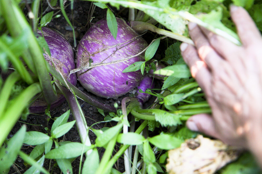 Purple kohlrabi in a field