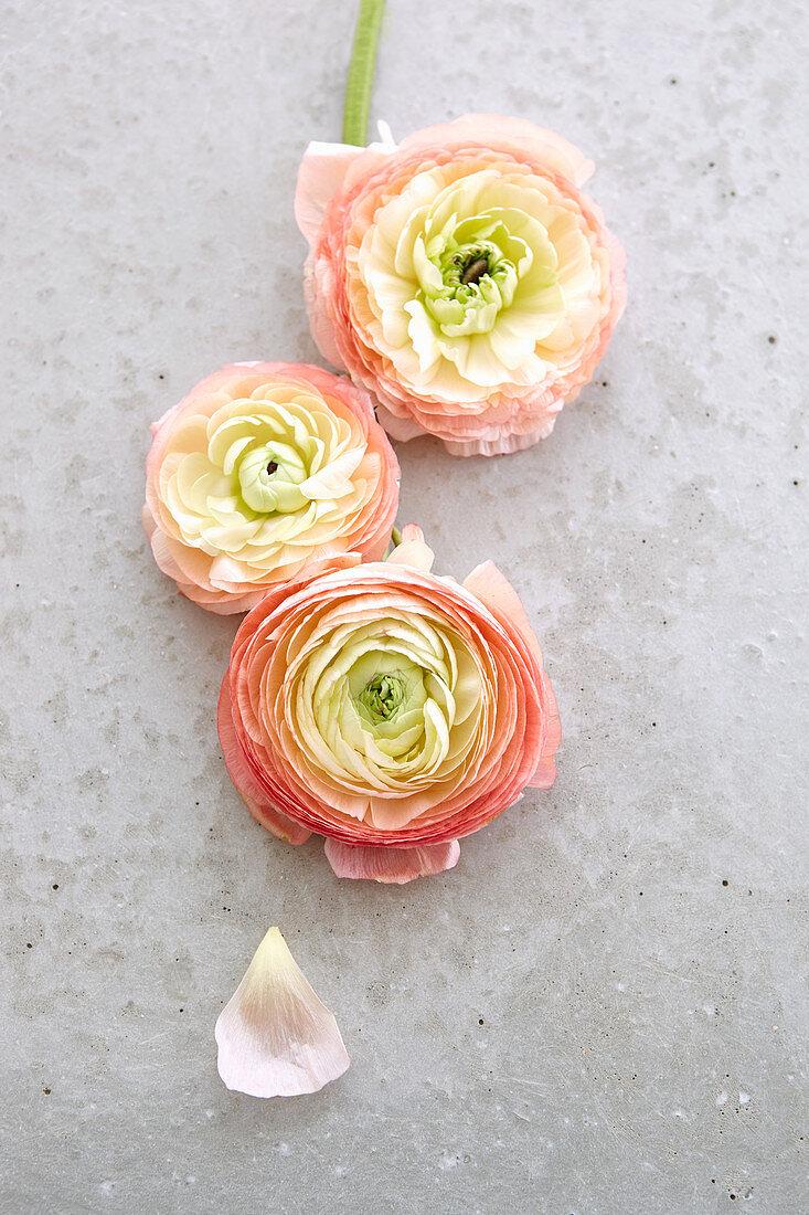 Three ranunculus flowers on concrete surface
