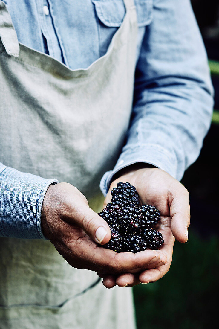 Handful of fresh blackberries, held by a farmer wearing an apron
