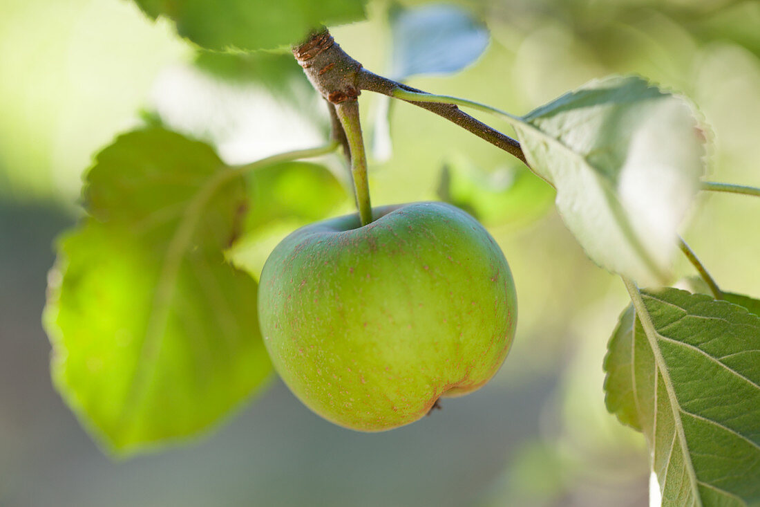 A green apple on the tree