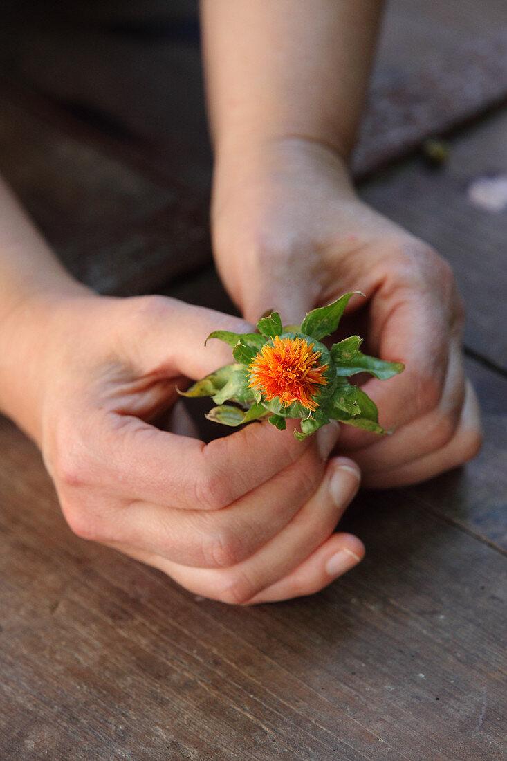 A hand holding a safflower