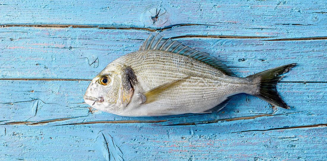 Dorade on a blue wooden background