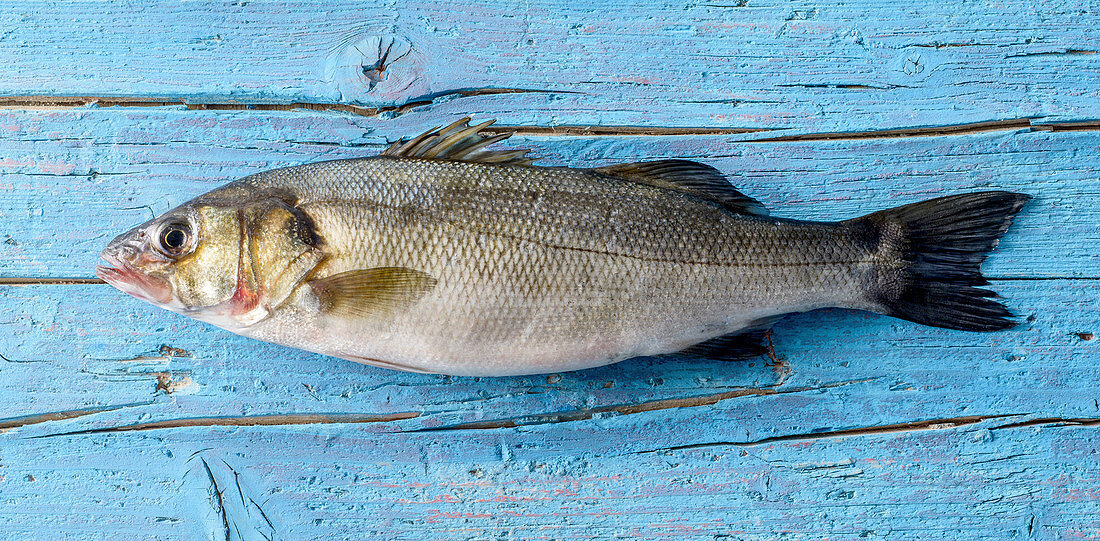 Sea bass on a blue wooden background