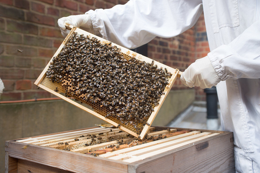 Honey rack filled with Bees