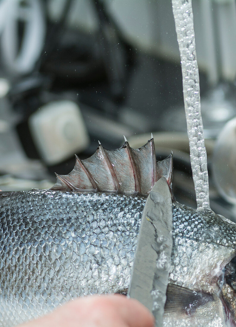 A sea bass being scaled