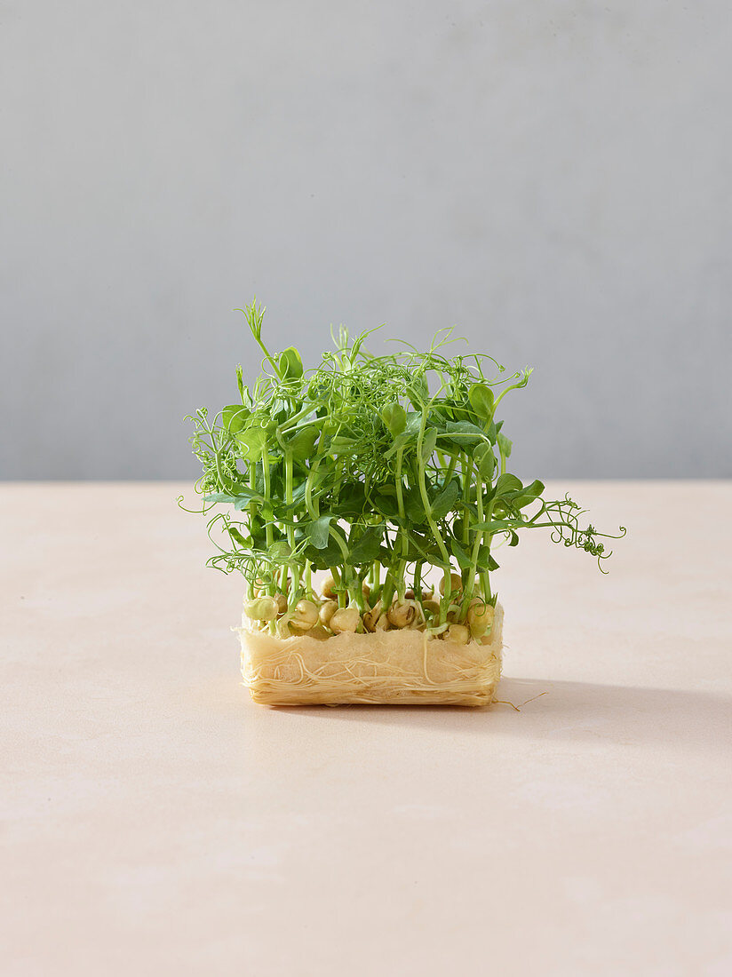 Chickpea shoots