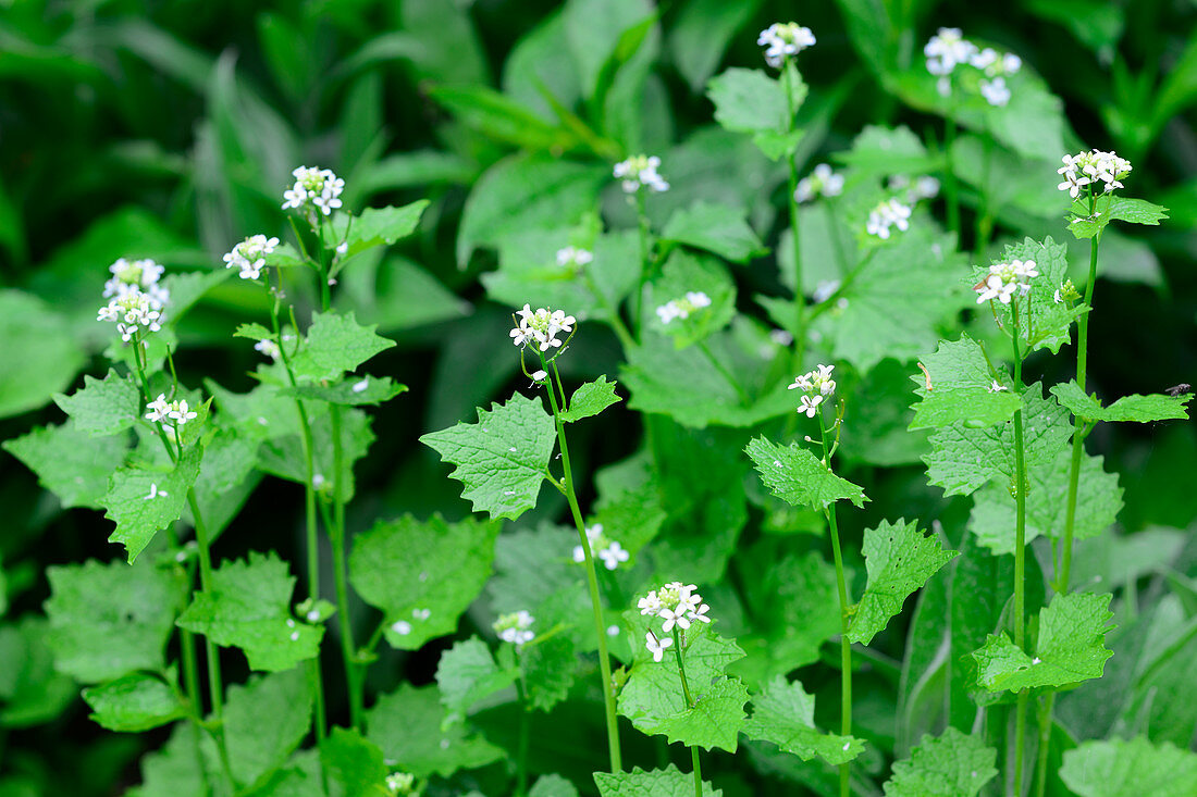 Flowering garlic mustard
