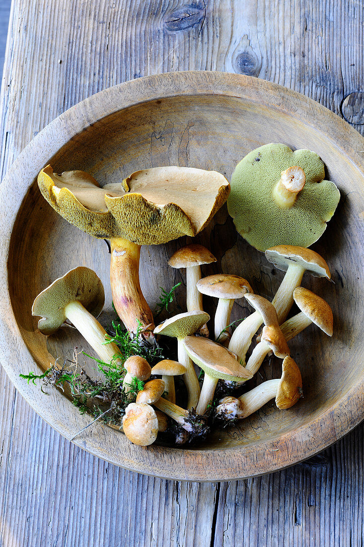 Fresh Jersey cow mushroom in a wooden bowl