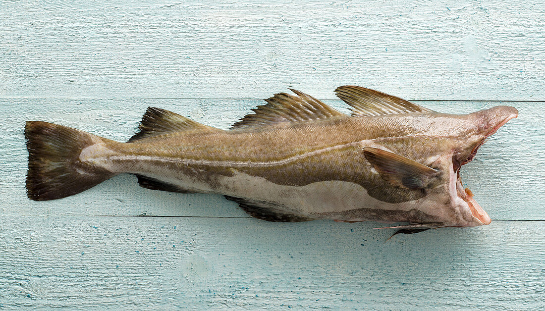 A headless cod on a pastel-blue surface