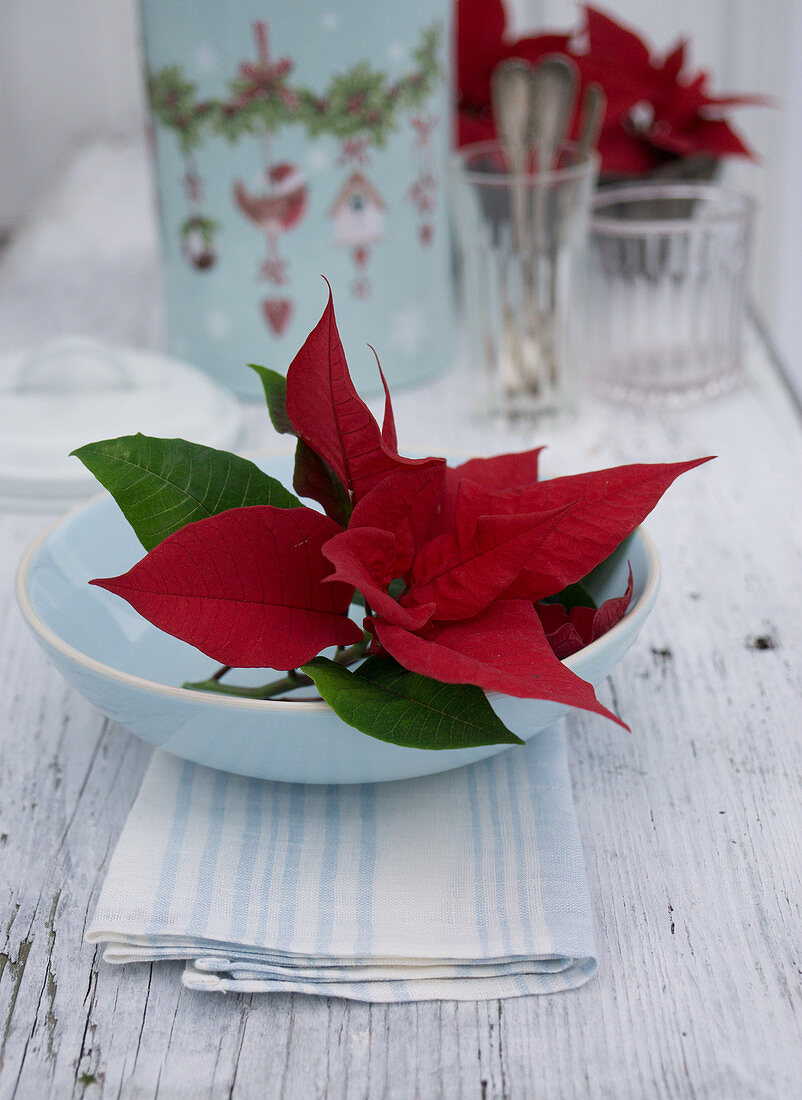 Poinsettia bracts in white bowl
