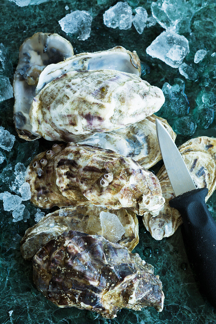 Fresh oysters with ice cubes and an oyster knife
