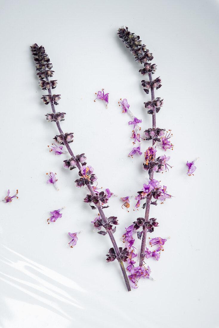 Lila Blüten der afrikanischen Basilikumpflanze