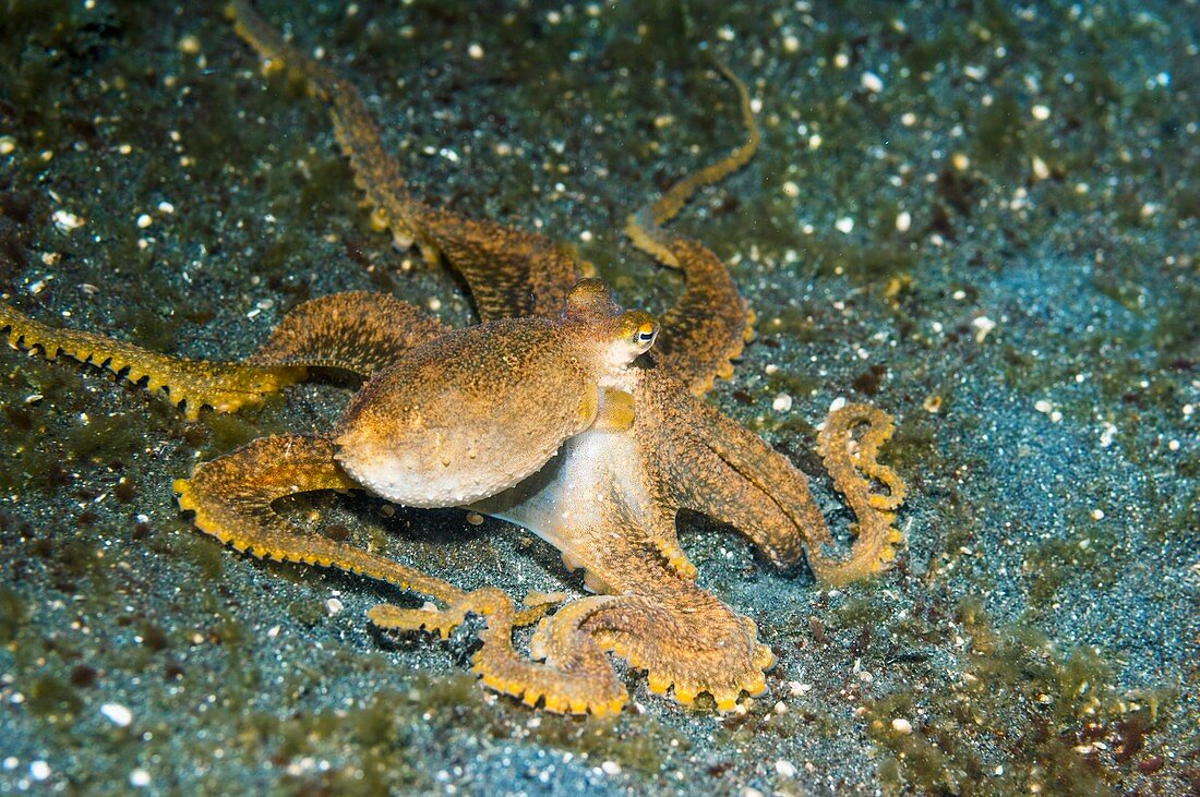 Long-armed octopus on a reef