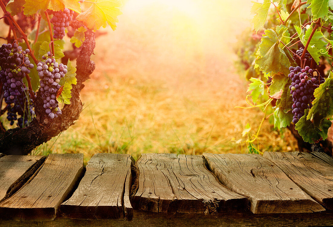 Grape vines in the Autumn light