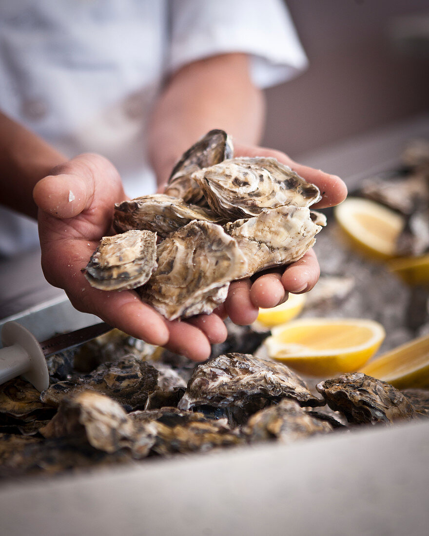Hands holding fresh oysters