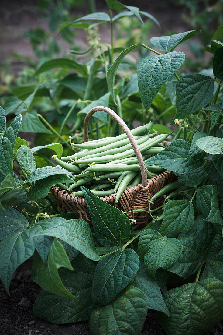 Freshly picked garden beans in a basket