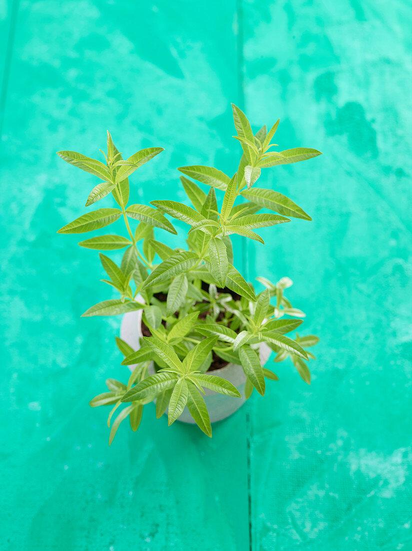 Lemon verbena in a plant pot