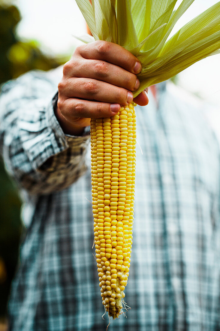 Farmers hands with fresh corn