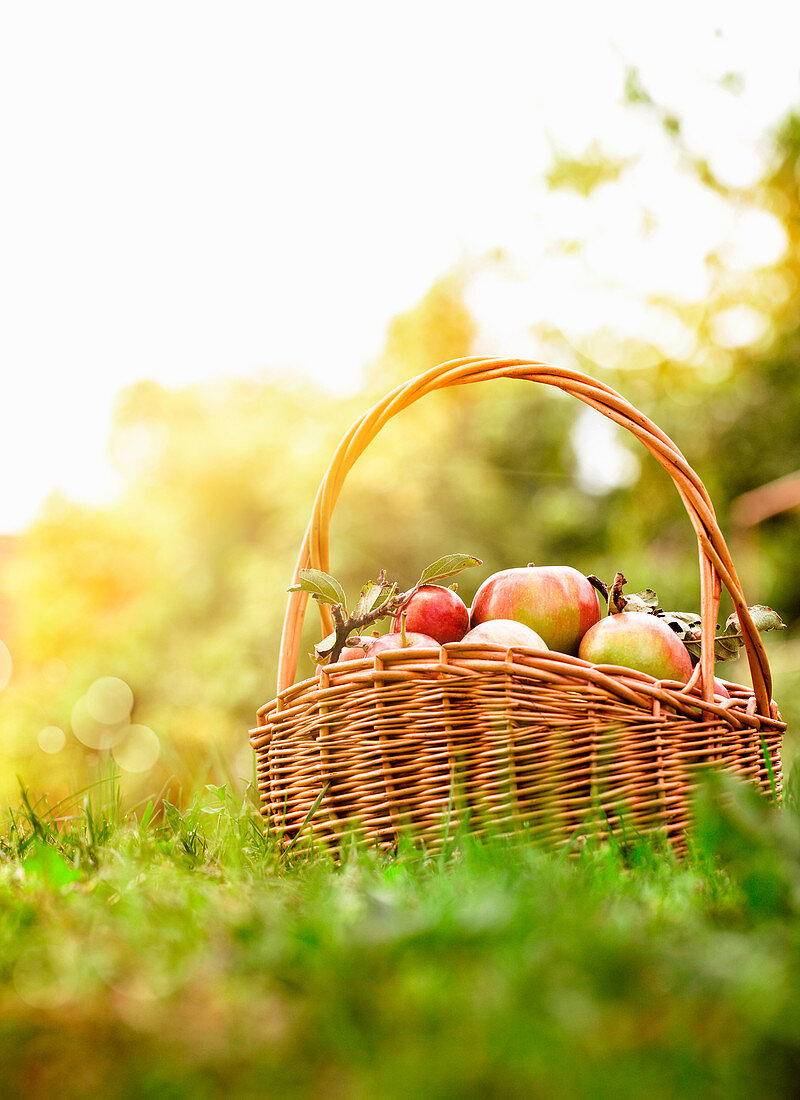 Apples in Basket on Grass