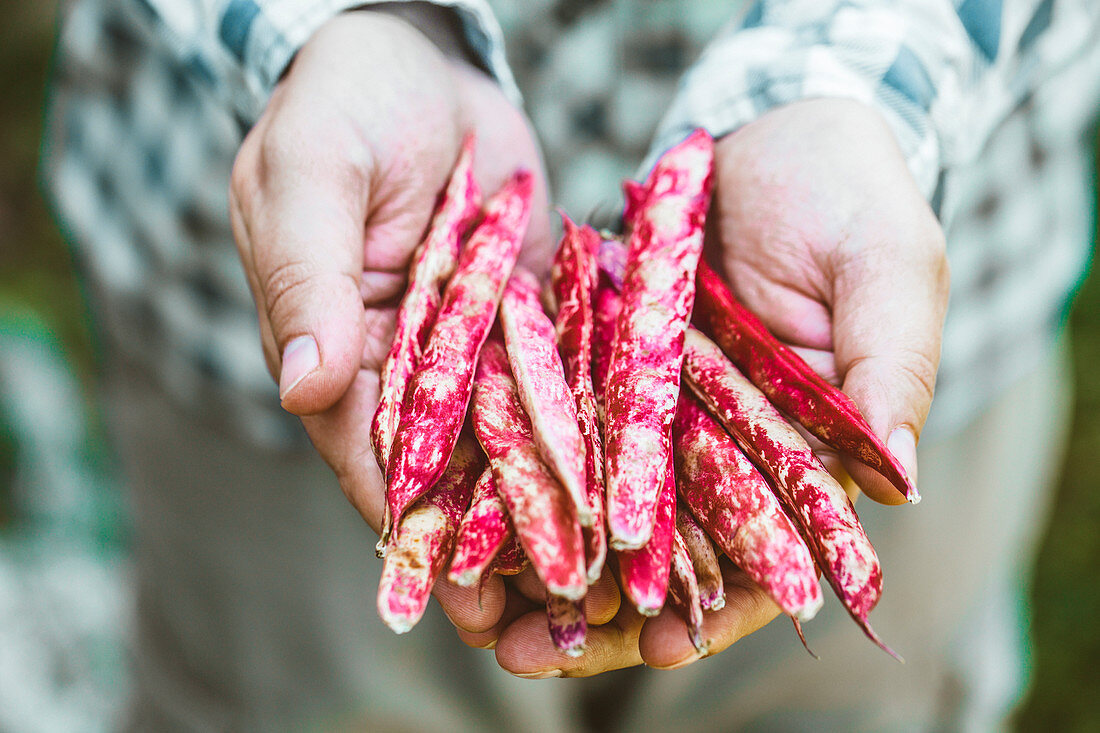 Hände halten frisch geerntete Borlottibohnen