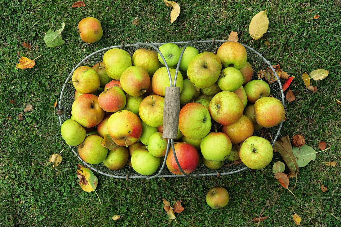 Apples in a wire basket in a meadow
