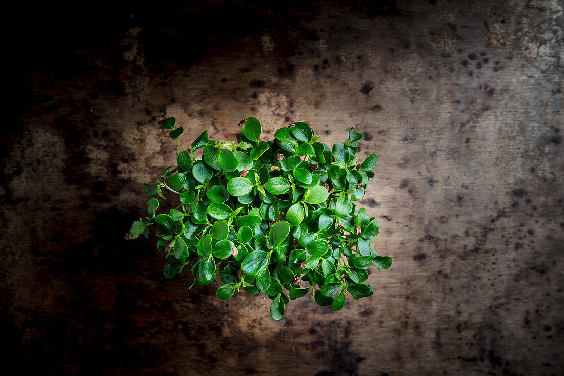 Tahoon cress on a metal background (top view)