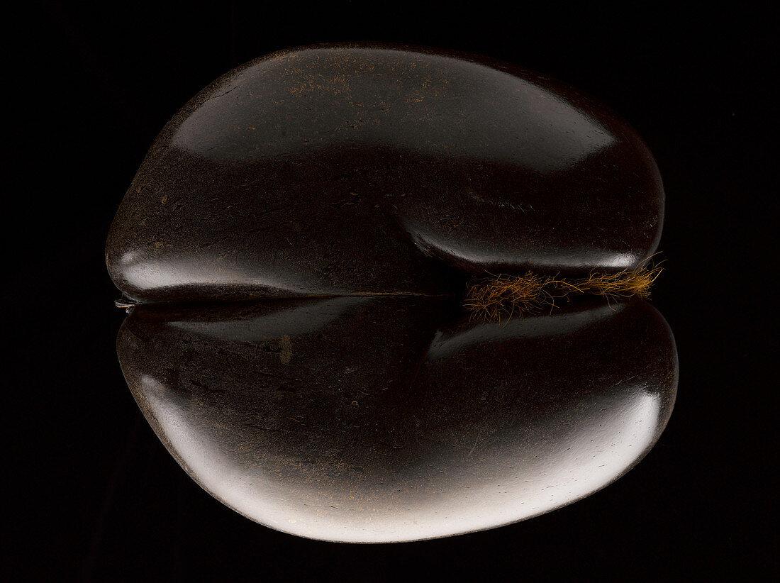 Coco de Mer (Seychelles nut)