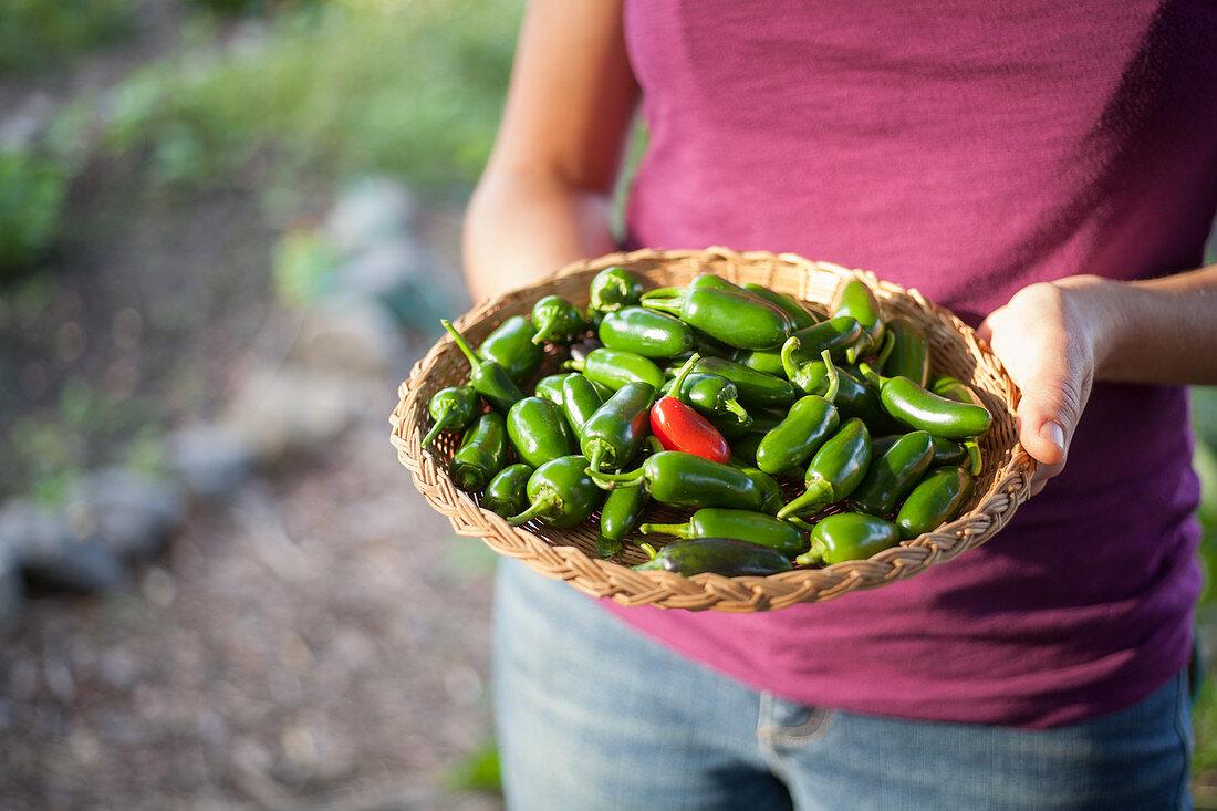 Freshly picked jalapenos at an urban farm