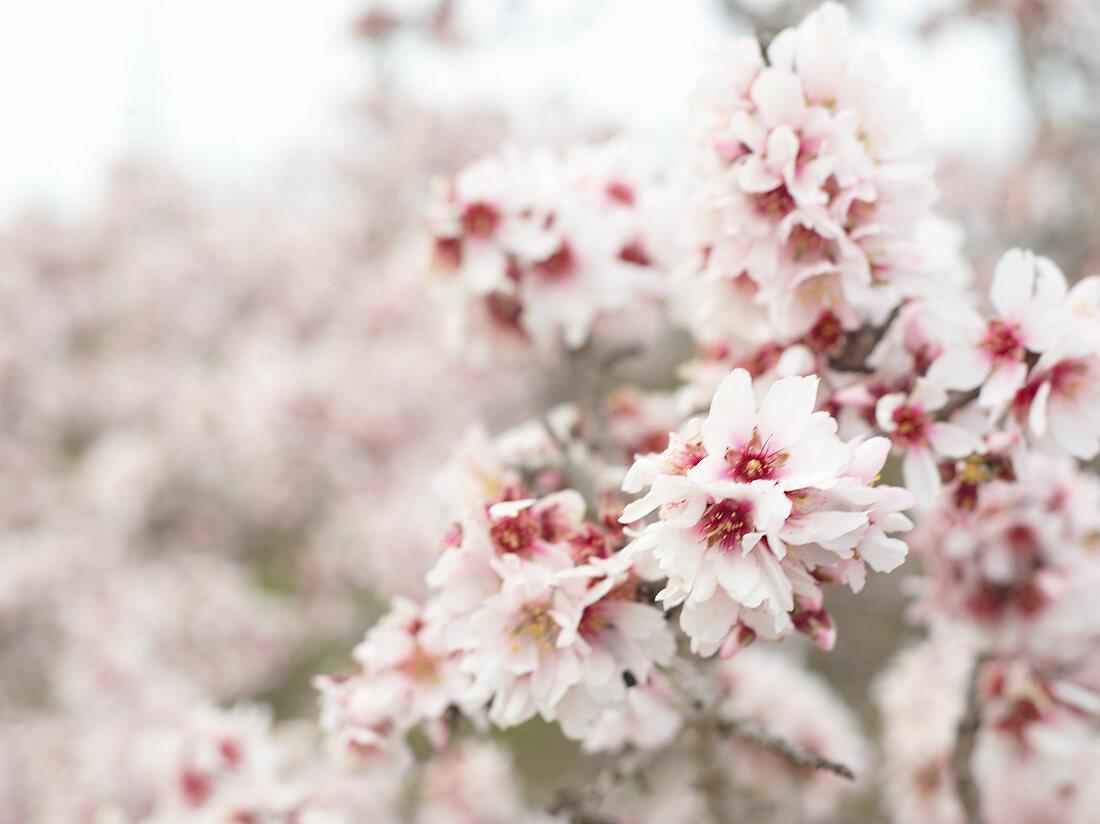Flowering almond springs