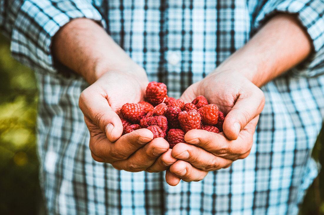 Farmers hands with freshly harvested raspberries
