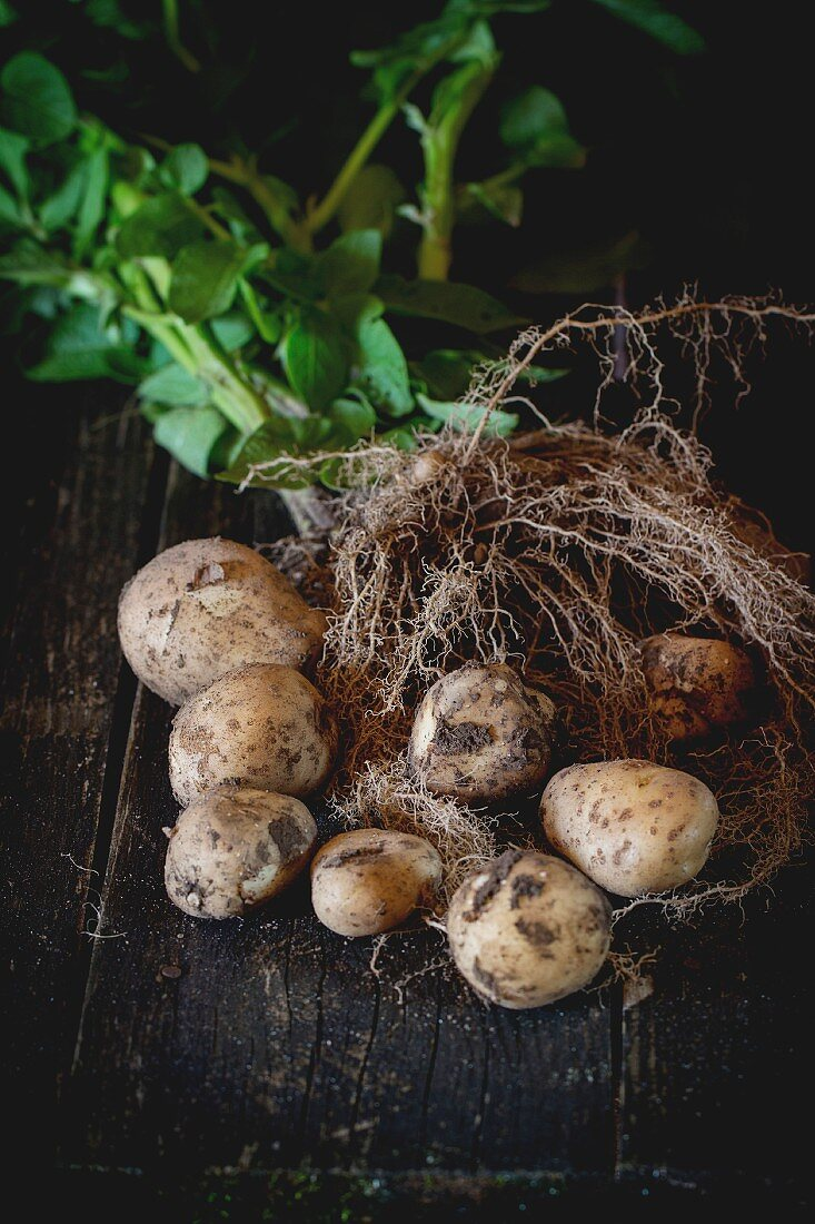Young potatoes with soil, roots, haulm and leaves over black wooden table