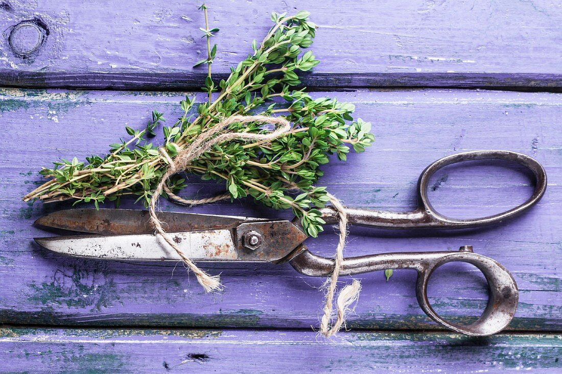 Top view on bunch of fresh thyme and vintage scissors on violet wooden table