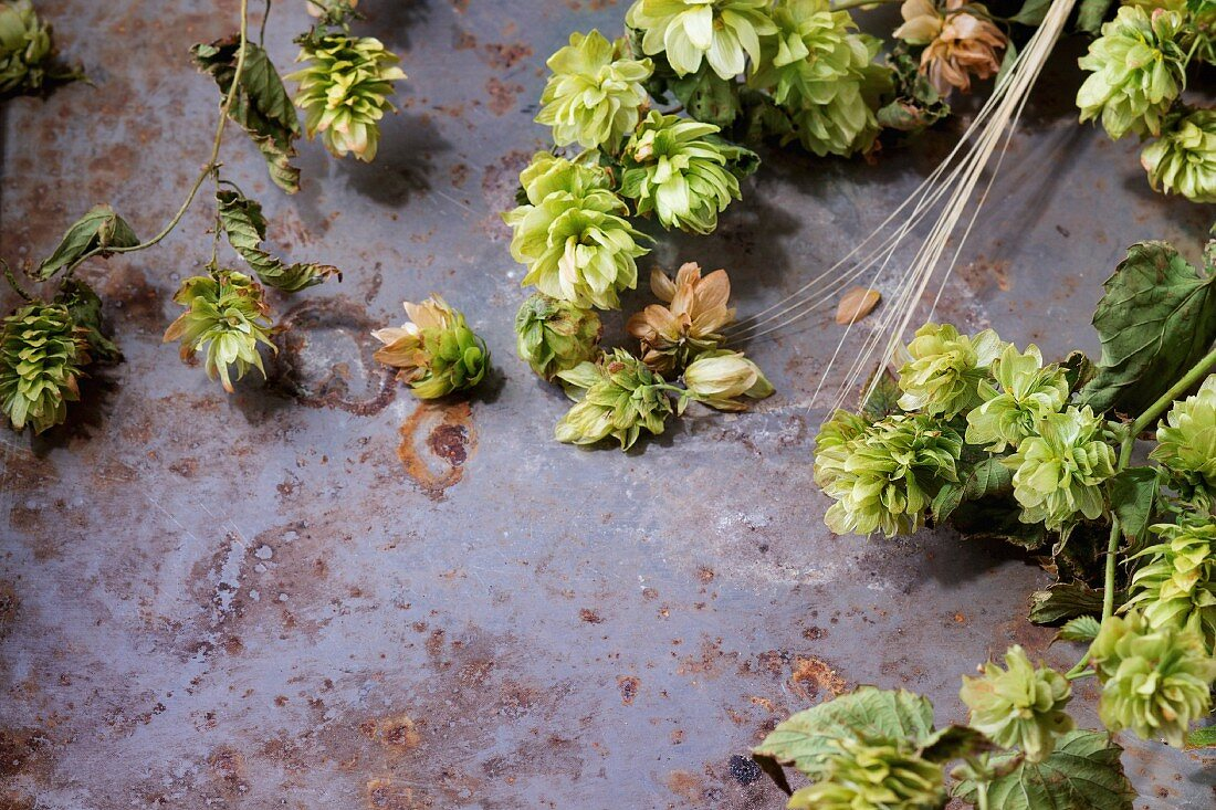 Fresh branches and cones of green hop and ears of barley over old metal background