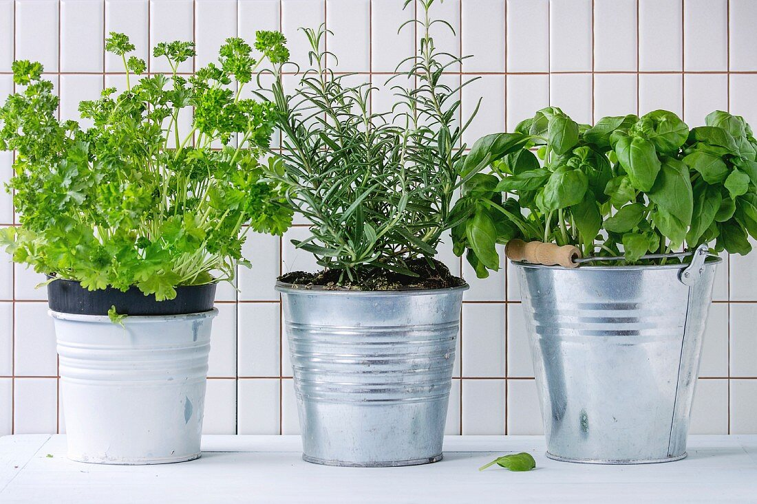 Fresh herbs Basil, rosemary and parsley in metal pots over kitchen table with white tiled wall at background