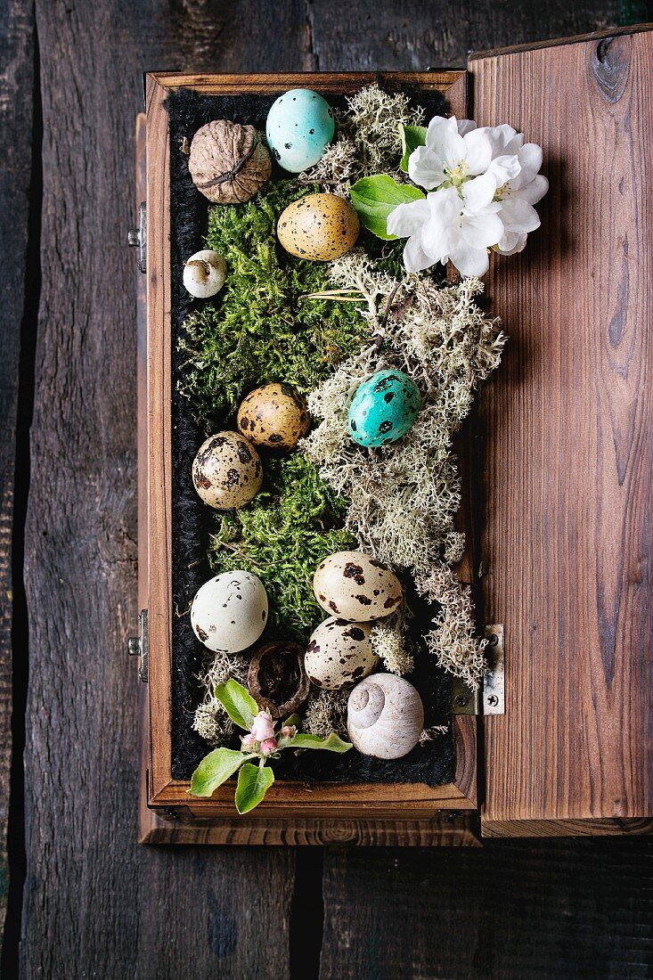 Decor colorful Easter quail eggs laying in moss with spring cherry flowers and nuts in wood box