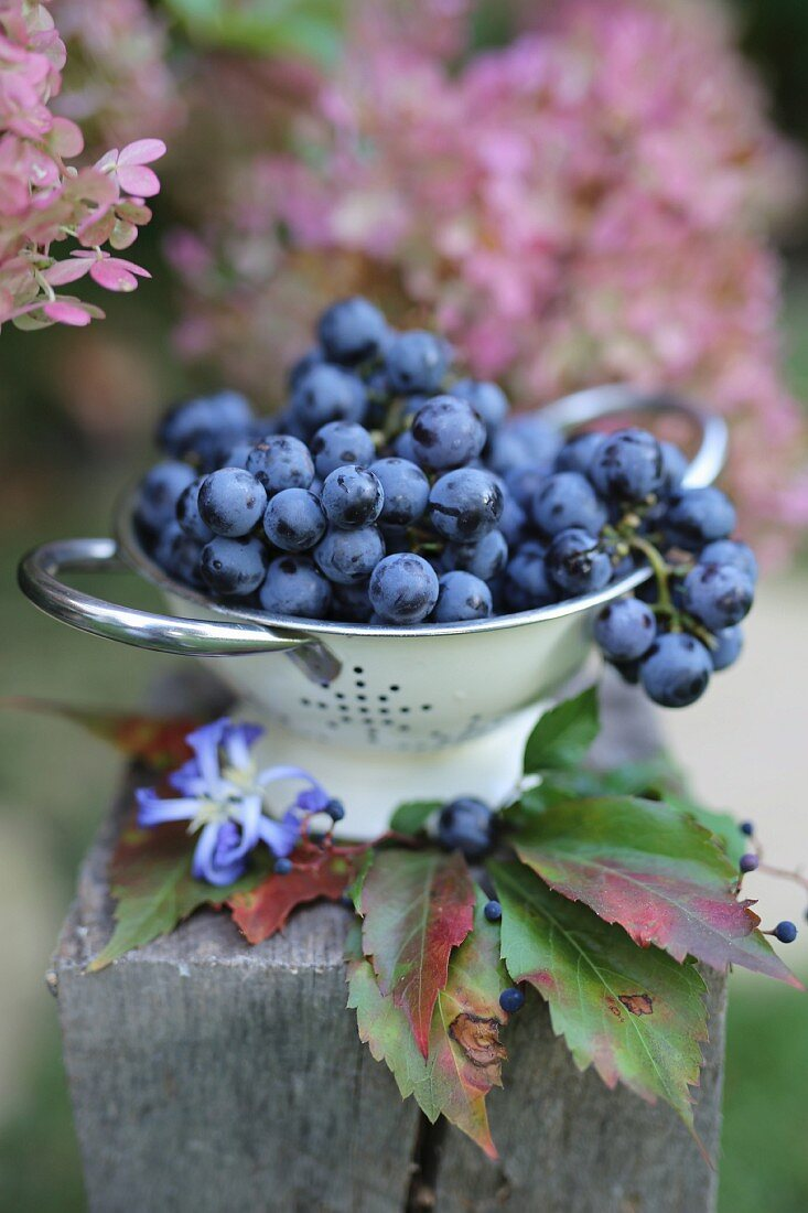 Purple grapes in a colander