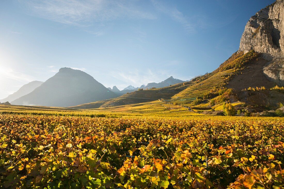 Autumn light on a vineyard (Switzerland)