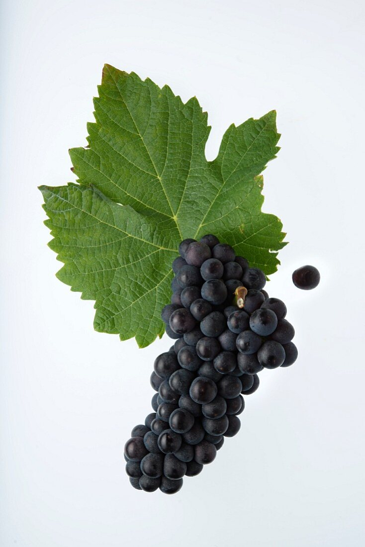 The Humagne Rouge grape with a vine leaf (Cornalin d'Aoste )