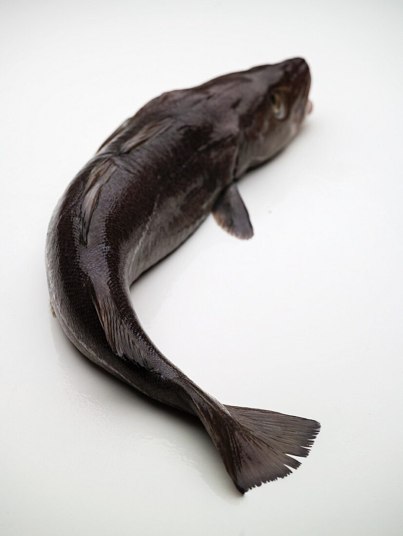 A Skrei (Norwegian cod, Norway) in front of a white background