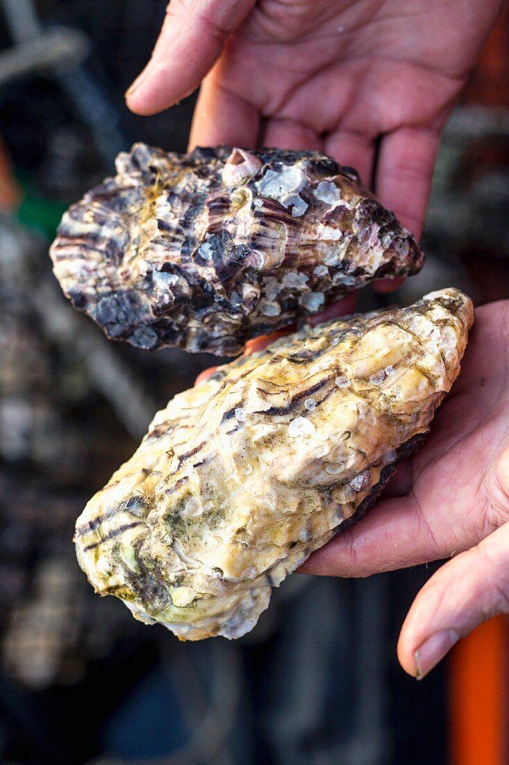 Hände halten zwei frische Austern