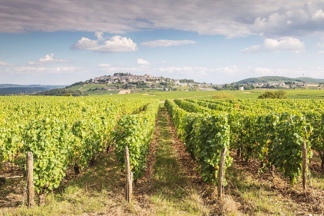 Sancerre Vineyards with Pinot Noir and Sauvignon Blanc vines (France)