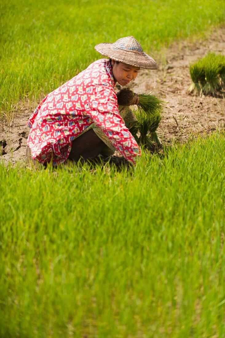 Asian woman harvesting rice plants in a rice field (Kachin, Myanmar, Burma)