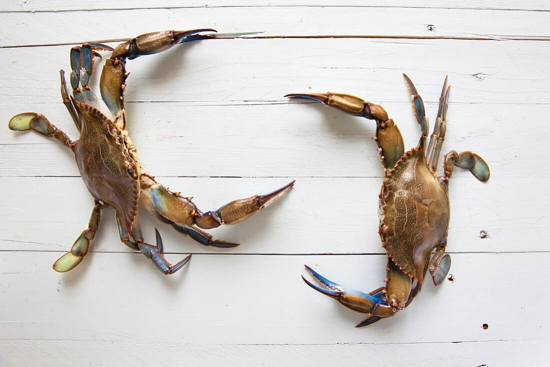 Two vivid blue crabs on a wooden background